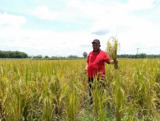 Sumarsono Panen Raya Padi MSP 13 di Lampung Tengah