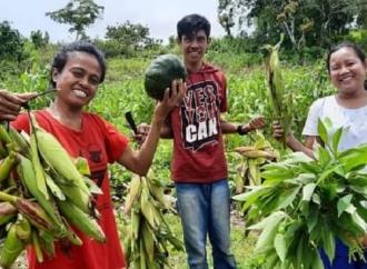 Ansy & Kementan Bersinergi, Petani Rote Panen Jagung Muda