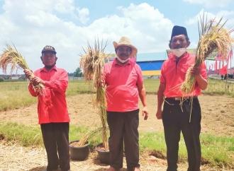 PDI Perjuangan Lampung Tengah Panen Raya Padi MSP