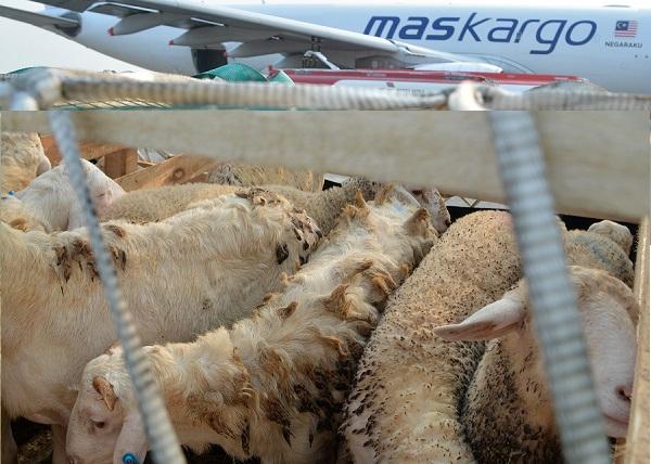 Pemerintahan Jokowi Ekspor Domba ke Malaysia