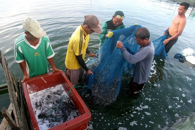 Adrimin Kritisi Permen Pelarangan Penangkapan Udang Lobster