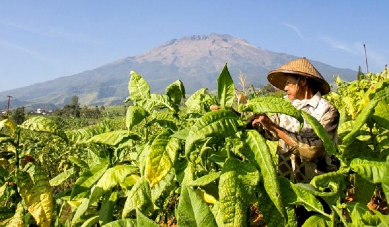 Legislator: Dana Bagi Hasil Cukai Tembakau Tak Tepat Sasaran