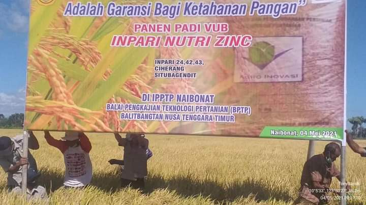 Ansy Apresiasi Panen Padi Inpari Nutri Zinc oleh BPTP