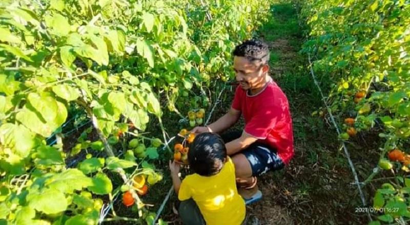 Berkat Ansy, Petani Rote Panen Perdana Tomat