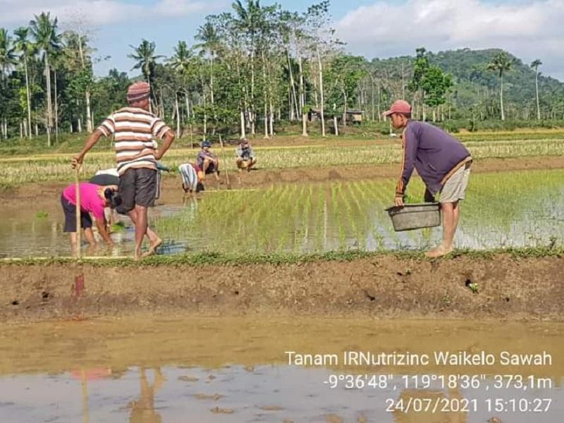 Ansy Bantu Petani Kembangkan Padi Inpari Nutri Zinc