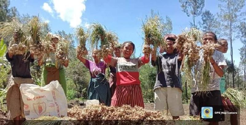 Berkat Ansy, Petani TTU Sukses Panen Bawang Putih