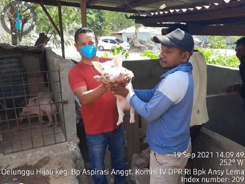 Didukung Ansy Lema, Petani Rote Kembangkan Peternakan Babi